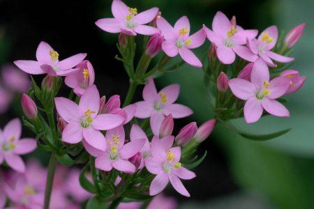 Bach-Blütentherapie: Centaury