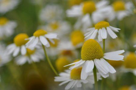 Heilpflanzen: Kamille