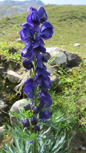 Aconitum napellus, der Blaue Eisenhut