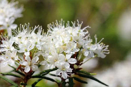Ledum palustre, der Sumpfporst oder wilde Rosmarin