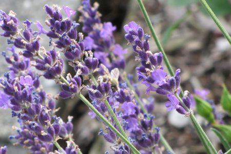 Der Echte Lavendel, Lavandula angustifolia Mill.