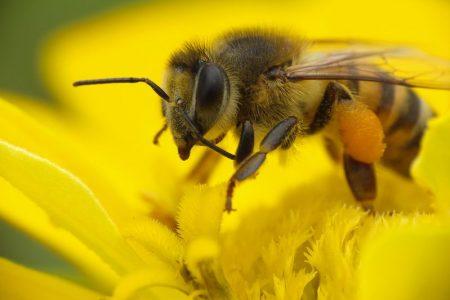 """Propolis - ein """"Bioantibiotikum"""" aus der Bienenwerkstatt"""